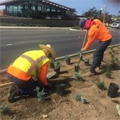 workers plant succulents