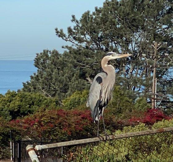 heron at Shores Park