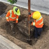 streetscape tree planting